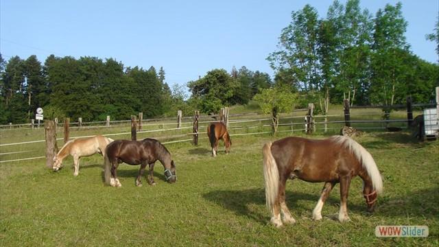 Die Pferde geniessen den Sommer auf der Weide
