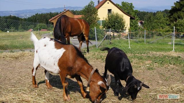 Louis, Mike und Moritz geniessen den Feierabend auf der Weide